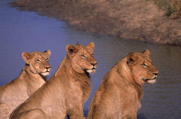 Africa's pride and joy, lions